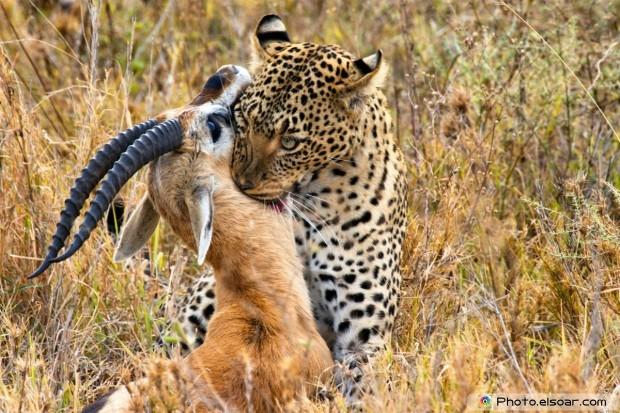 Leopard Catches Its Prey