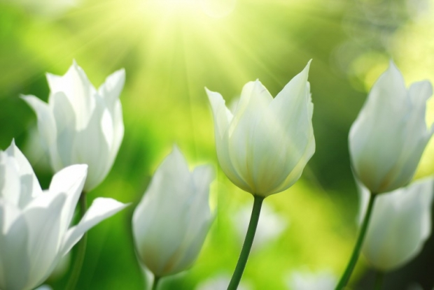Lily Flowers Pictures, White Tulips