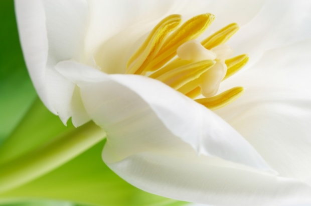 Lily Pictures, White Tulips Flowers