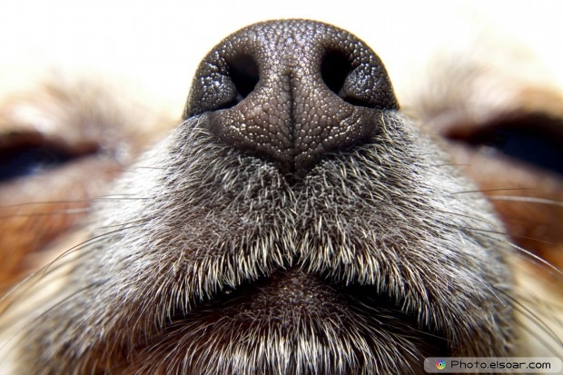 Nose Of Chihuahua Dog