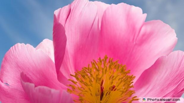Peony Flower. Free HD Wallpaper