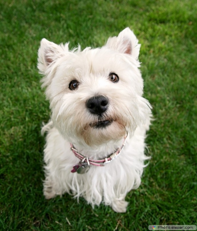 Picture Of Cute Westie