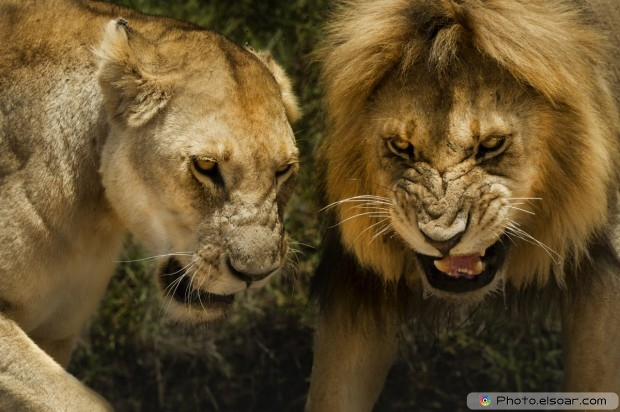 Picture Of Lion And Lioness