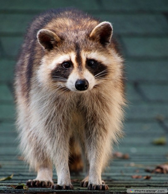 Picture Of Raccoon Baby