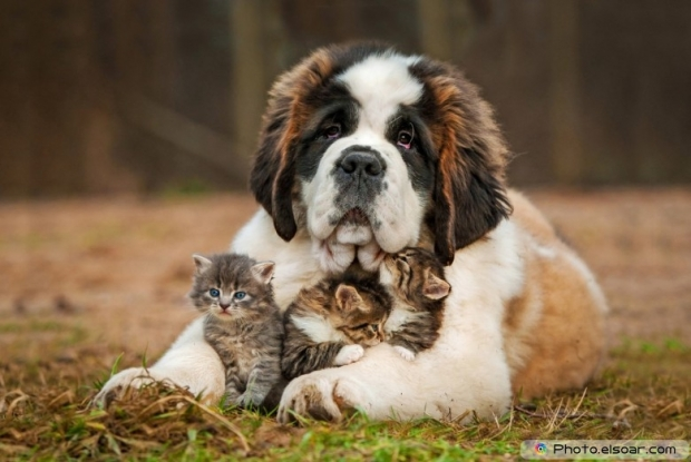 Picture Of Saint Bernard Puppy With Three Little Kittens