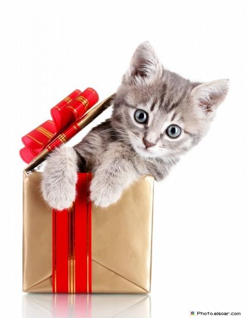 Playful Beautiful Cat With Gift Box