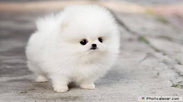 Pomeranian Photo A