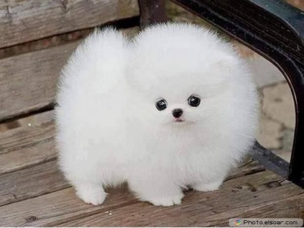 Pomeranian Photo B