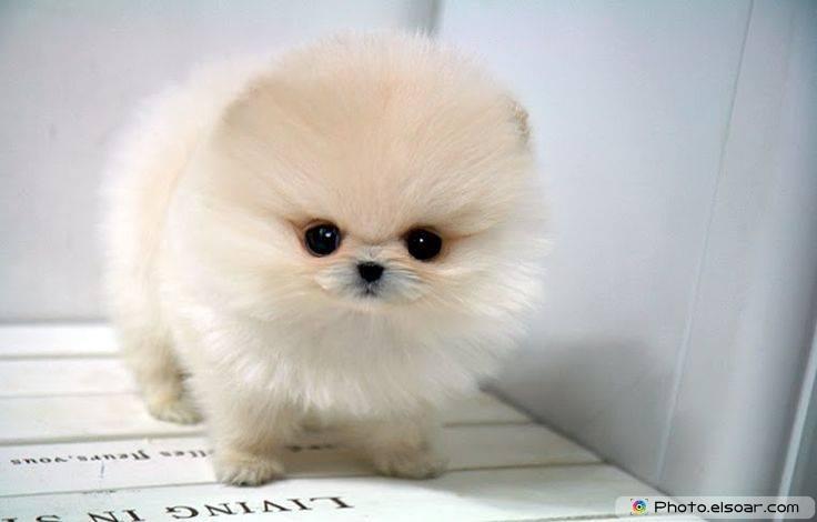 Pomeranian Photo C