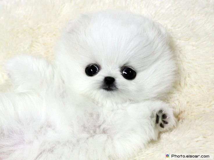 Pomeranian Photo D