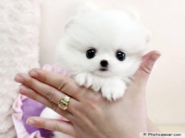Pomeranian Photo E