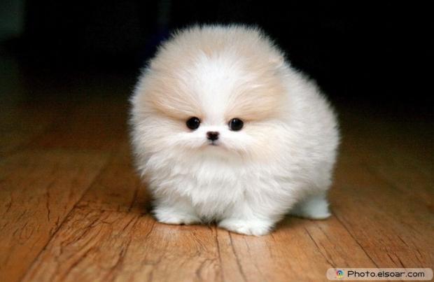 Pomeranian Photo F