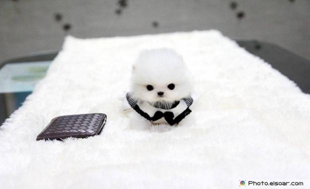 Pomeranian Photo G