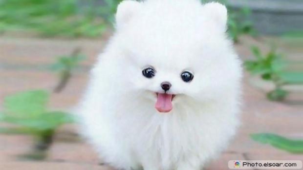 Pomeranian Photo H