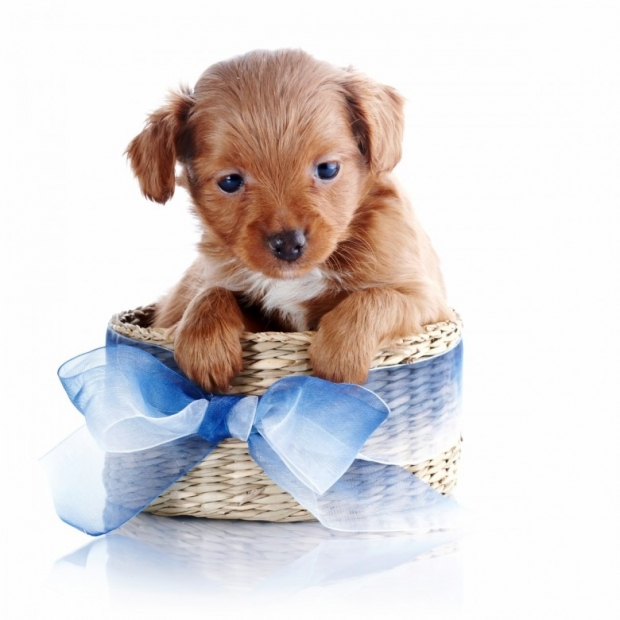 Puppy in a wattled basket with a blue bow