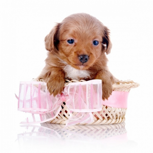 Puppy in a wattled basket with a pink bow