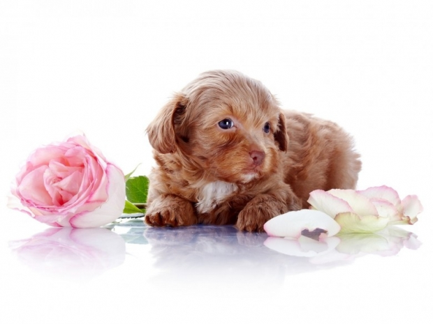 Puppy with a pink rose
