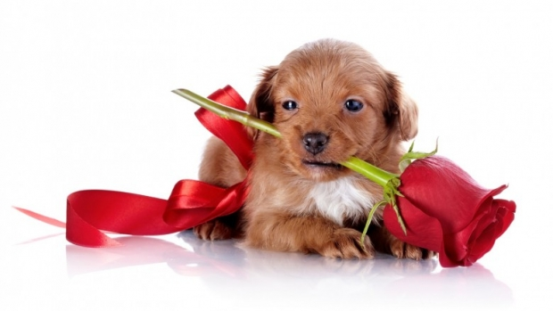 Puppy with a red bow and a rose