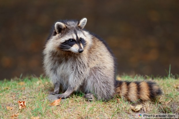 Raccoon At The Park, Montreal, Canada
