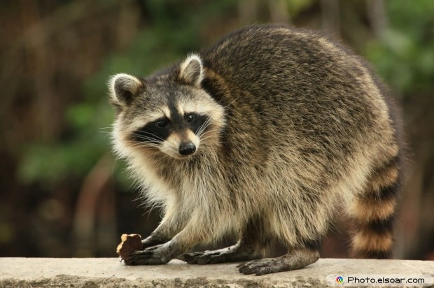 Raccoon Nibbles A Chocolate Cookie