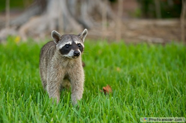 Raccoon With The Grass