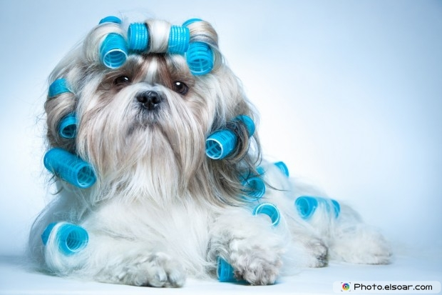 Shih Tzu Dog In Nice Photo