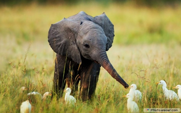 Small Elephant With Cattle Egret