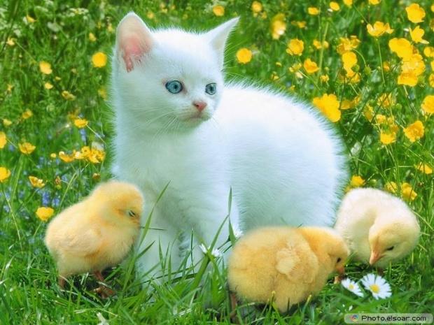 So Sweet. Kitten And Chicks