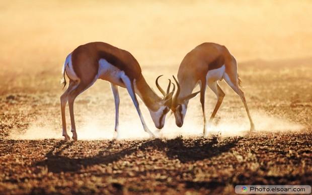 Springbok Dual