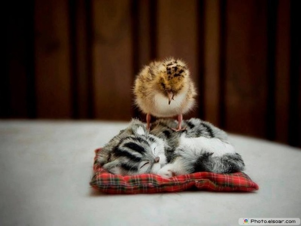 That Is A Fake Cat With Chick