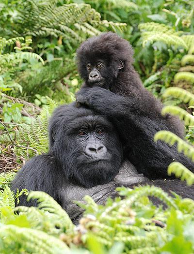 Mum and baby gorillas