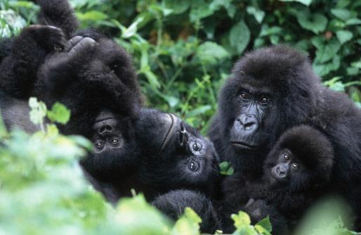 Family of mountain Gorillas