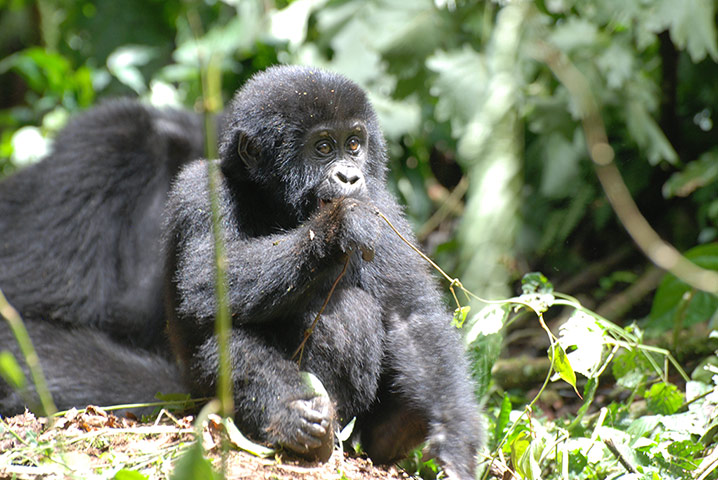Young gorilla in Uganda