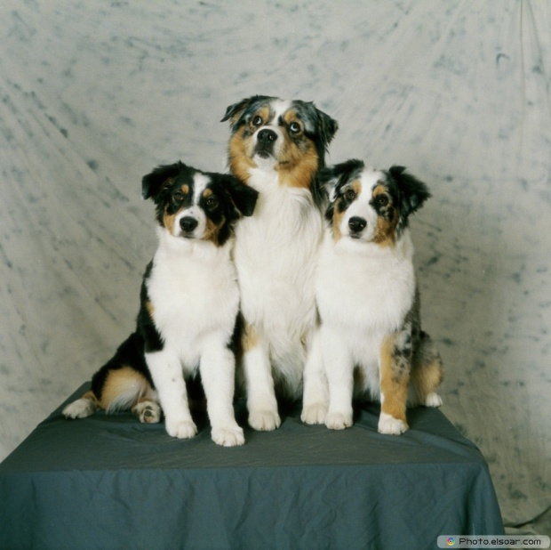 Three Of Australian Shepherds
