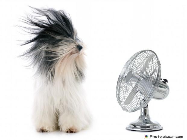 Tibetan Dog And Fan