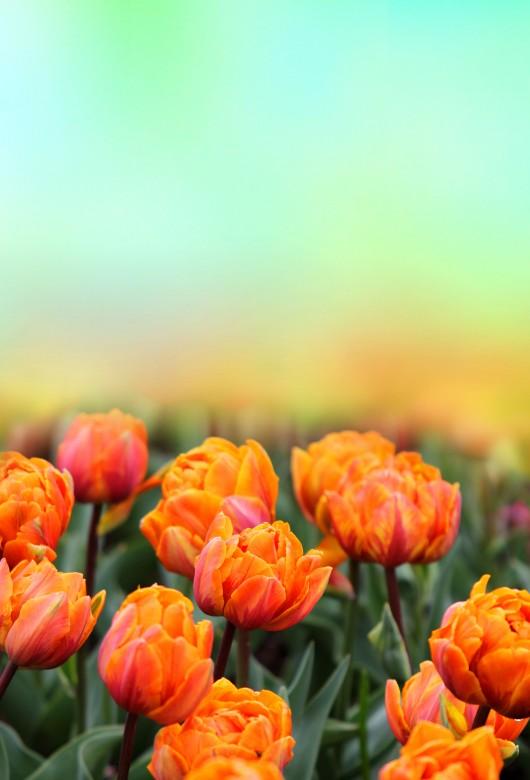 Tulip Fields 3