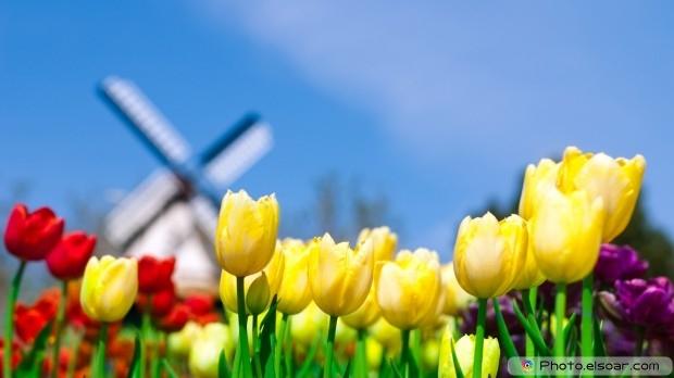 Tulips Flowers. Free HD Wallpaper
