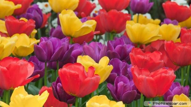 Tulips, Free HD Wallpaper