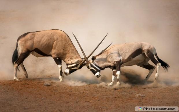 Two Male Gemsbok Fighting