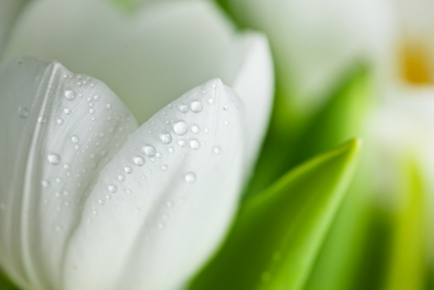 White Lily Flower Pictures