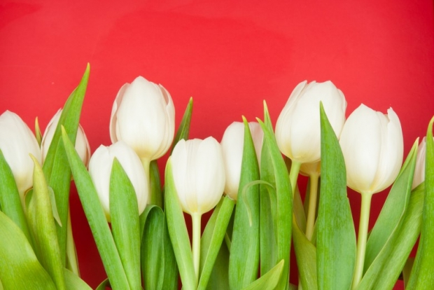 White Lily-Tulips Pictures