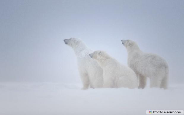 White Polar Bears Over Snow