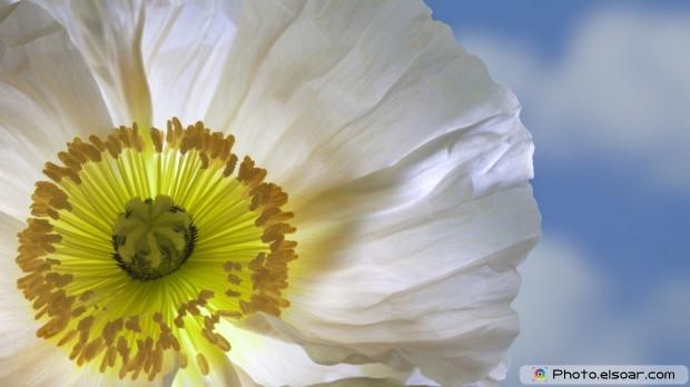 White Poppy, Free HD Wallpaper