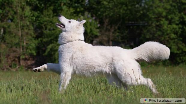 White Wolf HD Wallpaper