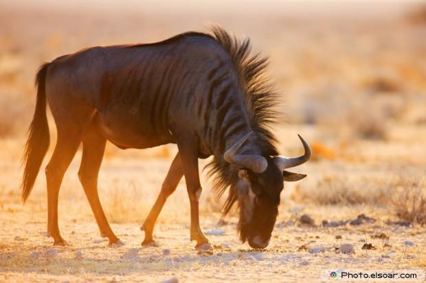 Wildebeest Feeding At Morning Sun